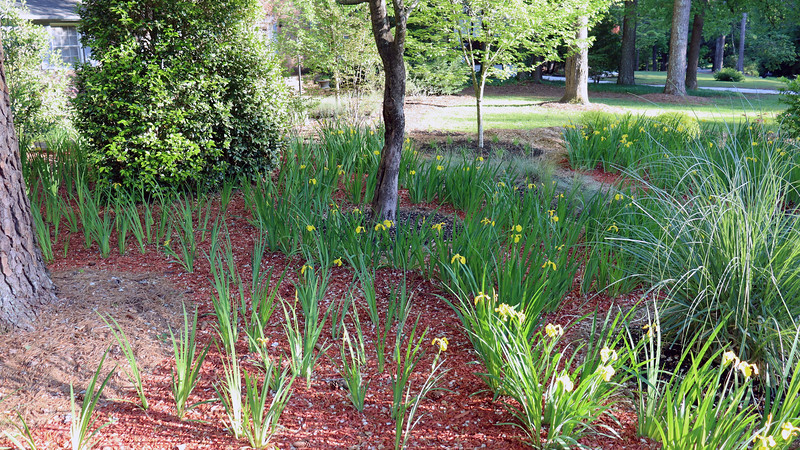 The good news is that some of the irises I divided and moved last summer are starting to bloom.