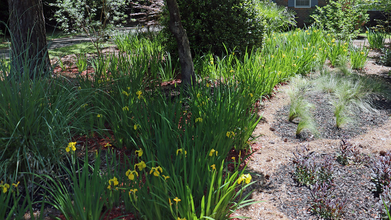 All of the existing irises that I planted in 2017 are blooming.