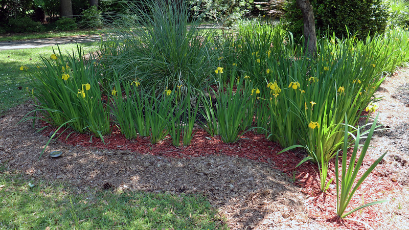 More of the existing iris path I planted in 2017.