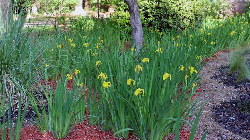 Existing irises that I planted in 2017 are blooming.