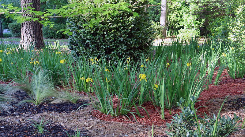 More of the existing irises that were planted in 2017.
