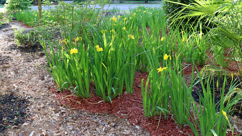 The blooms seen in the photo above are from the existing irises I planted in 2017.