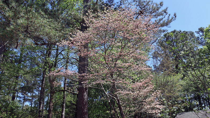 The large dogwood was in place when I moved into this house and does its thing every spring without any input from me.