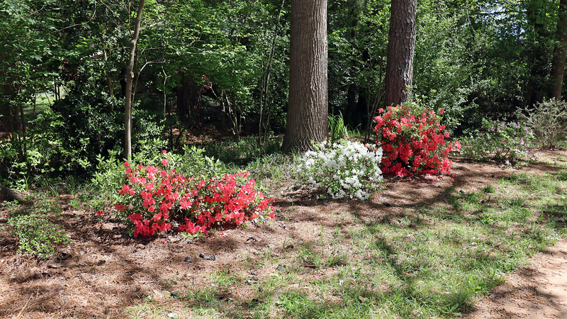 The remainder of the driveway azaleas look great.
