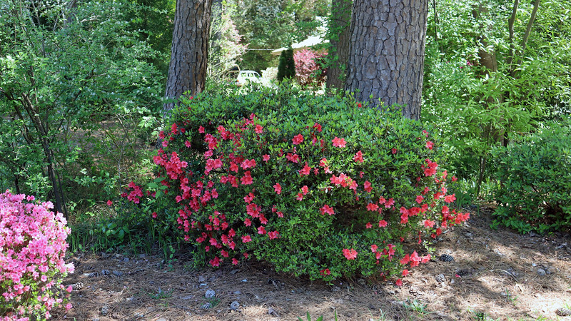 The second azalea is blooming, although not as much as in years past.