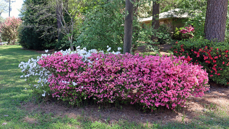 The first azalea cluster looks great.  The pink half appears to have peaked.