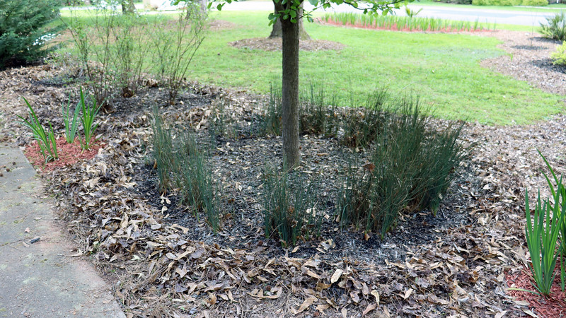 The first step was to clear the leaves from the area to be mulched.  The leaves will act as a good border.