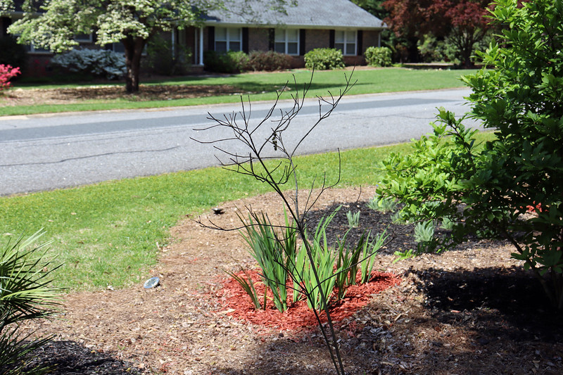 I kept thinking that the relocated flowering dogwood tree was dead.  But it isn't.