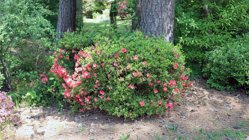 The second azalea bloomed well this year, although not as well as in years past.