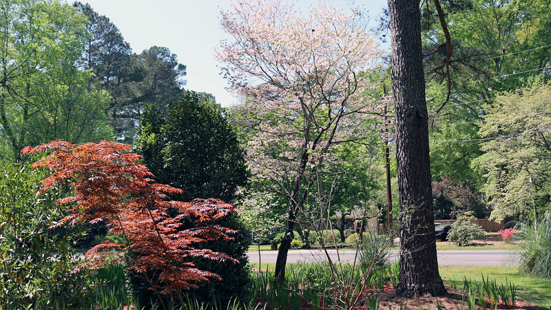 The color contrast between the red Japanese Maple, the green camellia, and the two dogwoods looks good.