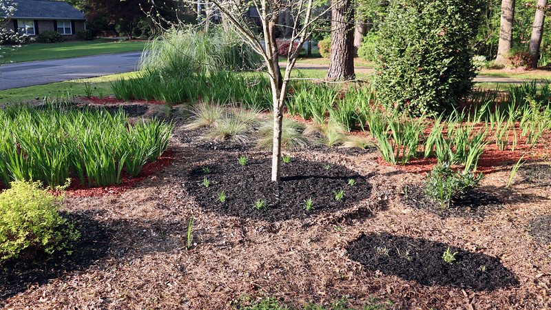 I put black mulch around the maple tree.  And I also added some around the relocated ornamental grass plants from last year.  I put them there as a temporary measure only because I didn't know what to do with them.  I'll leave them in place for now.