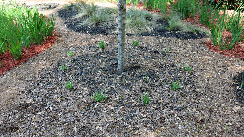 The maple tree and surrounding lilies will get black mulch again.