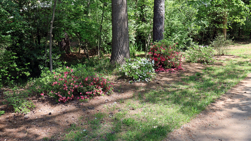 The rest of the driveway azaleas did well this season.