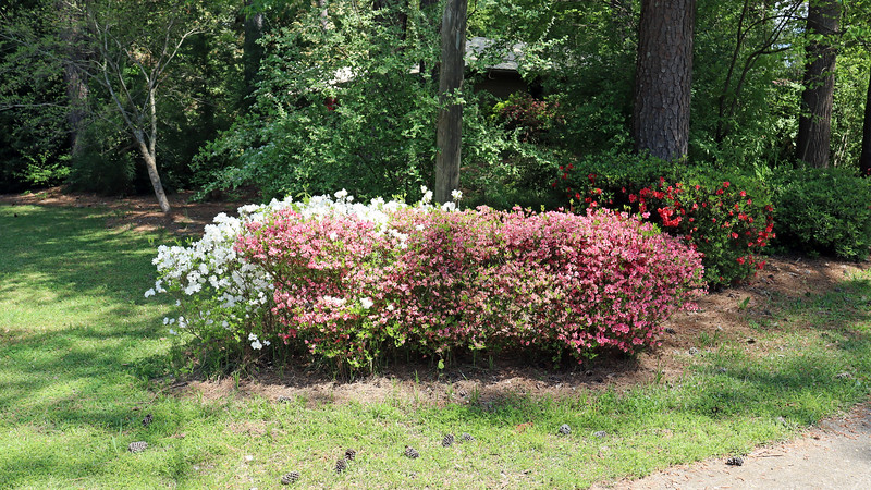 The pink half of the first azalea cluster has peaked.