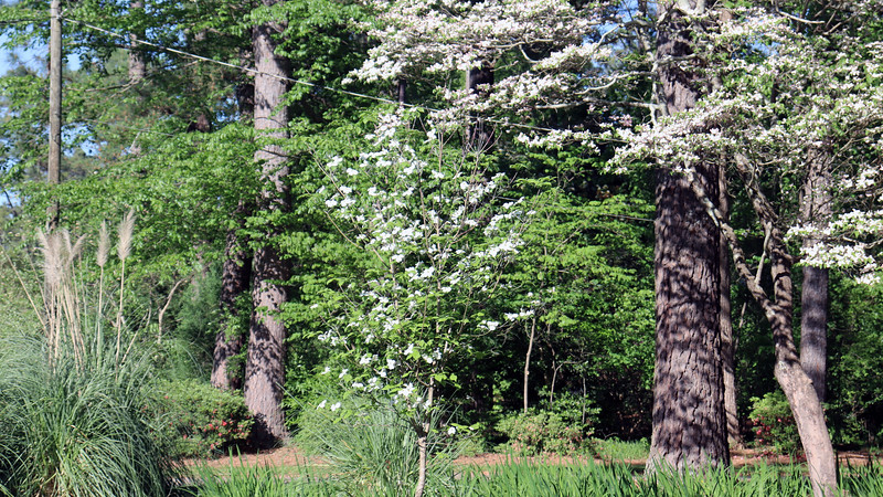The Cherokee Princess dogwood has bloomed more this year than ever before.