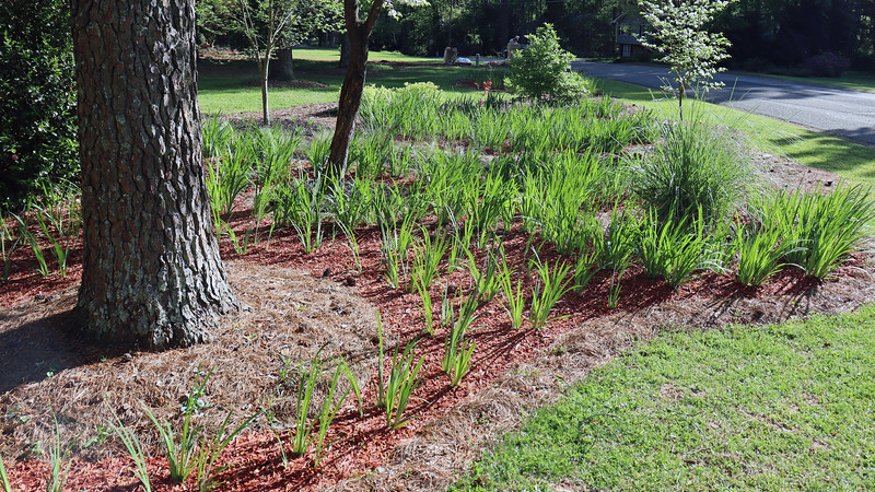 There are no small plants on this side of the yard.  So when the irises grow tall, they won't smother anything else.