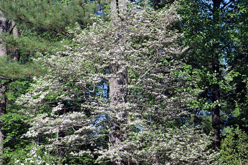 The pink dogwood continues to do its thing each spring without any input from me.