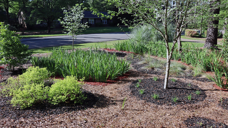 Since I removed the Yellow Flag iris path near the Happy Returns Daylilies, maybe they will get more sunlight and flower a bit more.  I have to wonder if the irises grew too tall too close to the lilies and blocked the sun.  Not sure, though.