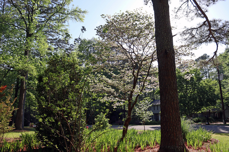 Another view of the dogwood trees.