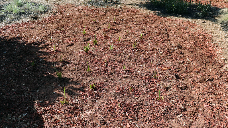I replanted until I had covered about 2/3rds of the original area, which should be fine.  The next step will be to add mulch and create a border which I'll do later.  But for now, the iris dividing project is finished.