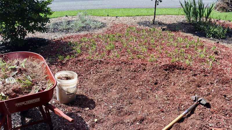 I kept digging and dividing.  I took the photo above near the mid-point of the dividing process.  And my wheelbarrow was nearly full again.