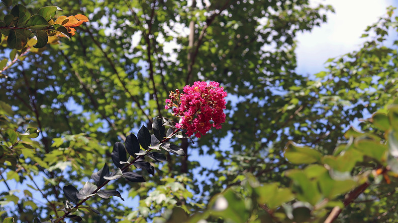 Like the Purple Magic Crape Myrtle, the Plum Magic also hasn't bloomed in a while.