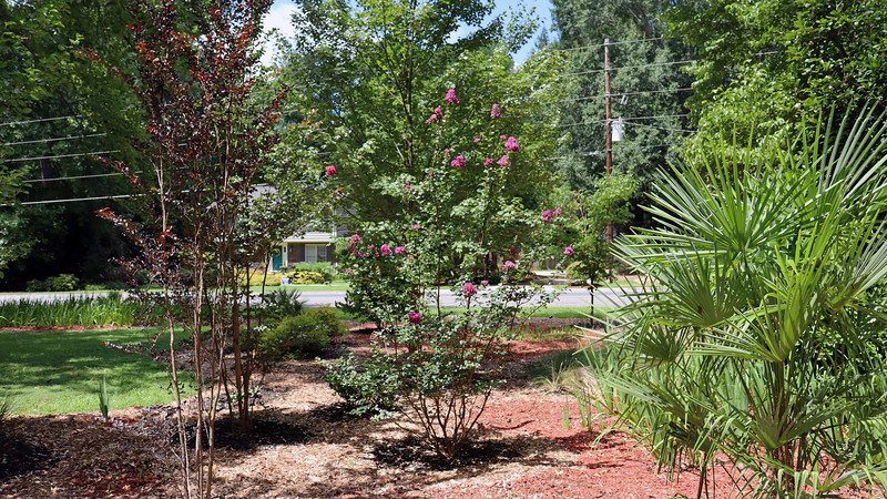 Hopefully, removing all of the remaining irises that surrounded the crape myrtles will be beneficial.  The Crimson Red hasn't bloomed in a couple of years.  Maybe next year.