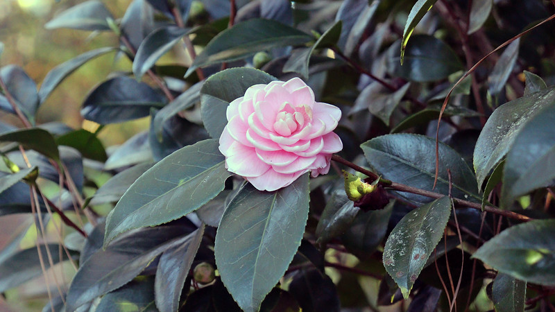 A few blooms on the Japanese Camellia.