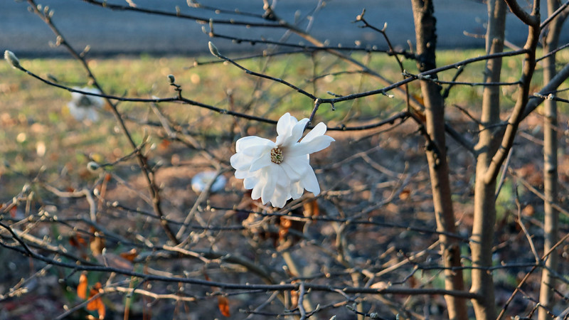 I think the mild weather has the Star Magnolia a little confused.