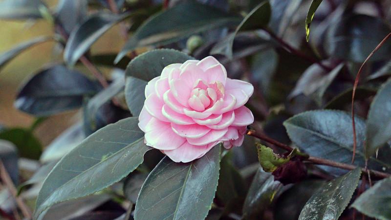 Japanese Camellia.
