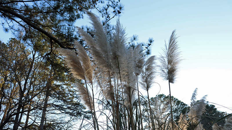 The pampas grass plants by the driveway look great !