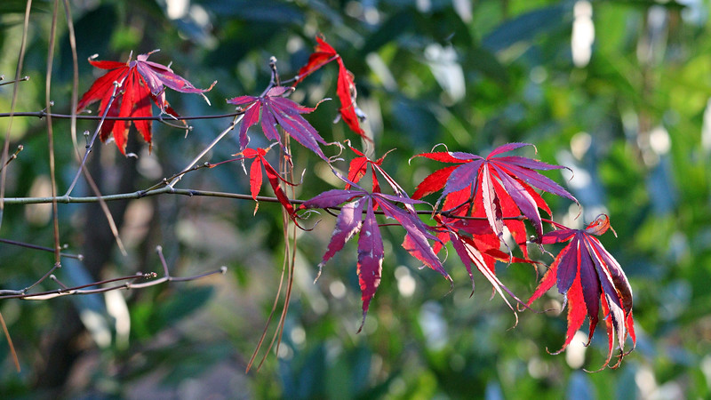 I spotted a handful of bright red leaves on the Japanese Maple tree.