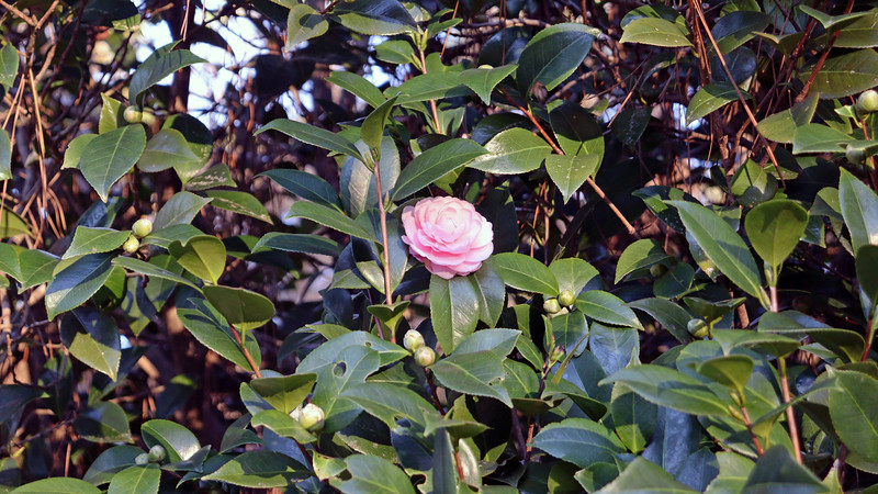 Several blooms have appeared on the Japanese Camellia.   But this happens every winter.