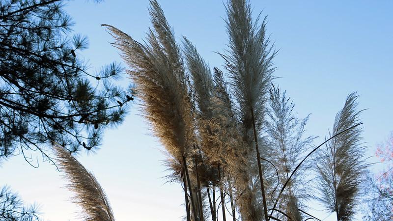 Pampas grass blooms.