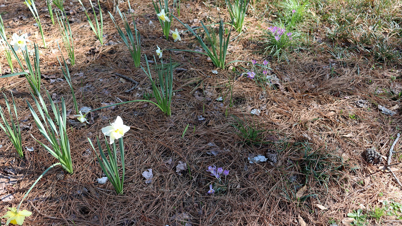 The yellow and white daffodils are joined by a bunch of crocus bulbs.