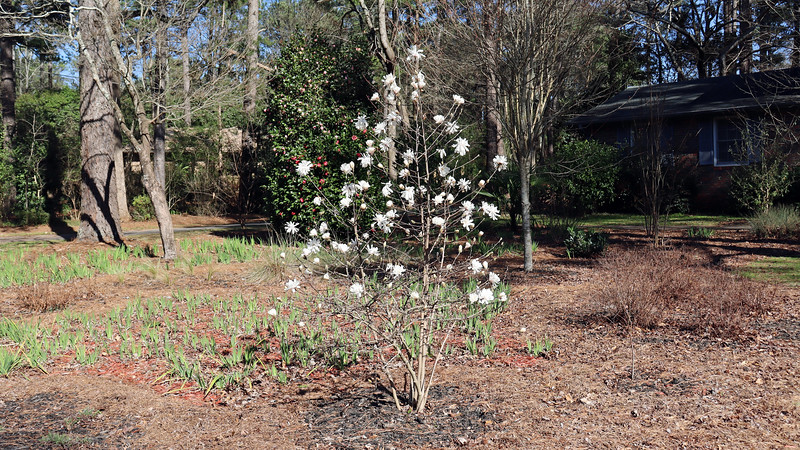 The Star Magnolia is blooming.