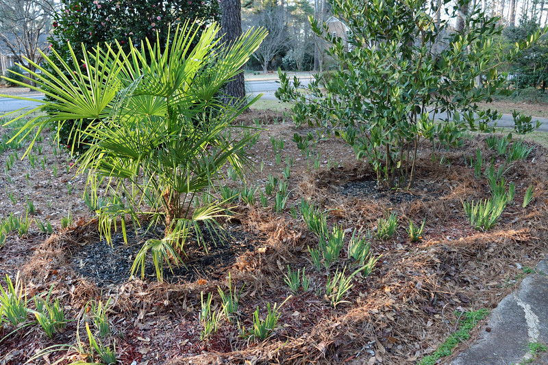 The individual plants will all get black mulch.  The Yellow Flag irises will get red mulch.