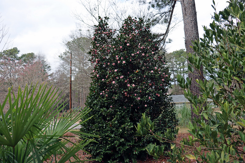 The other early bloomer in the yard is the Japanese Camellia.  This camellia is actually three separate plants that have grown together.  I've pruned everything to look like one giant shrub.  The best thing about the camellia is that it does its thing every spring without any input from me.