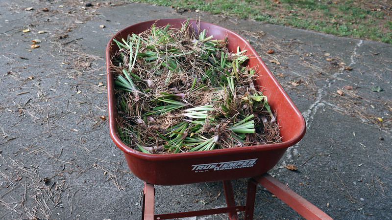 With this phase of the iris project finished, I once again have a full wheelbarrow, (the third load of this project, and I'm still not done !).  Hopefully, I haven't run out of neighbors yet.