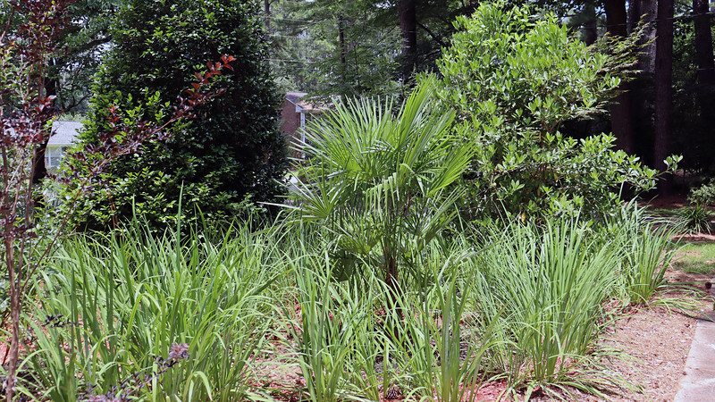 I've said for years that the Windmill Palm tree seen in the photo above never seemed like it was growing.  But comparing photos from April 2014 when I planted it in this spot with today, it's actually grown tremendously.  It's at least double the size it was initially.