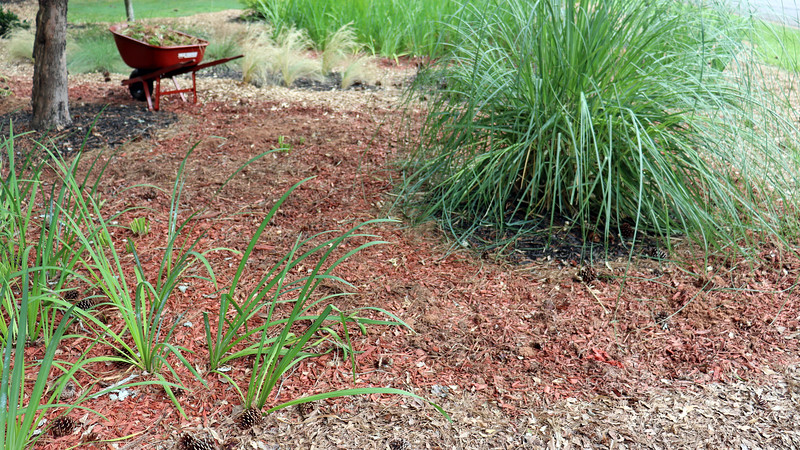 July 12:  With everything around the Pampas grass removed, the area looks much less cluttered.