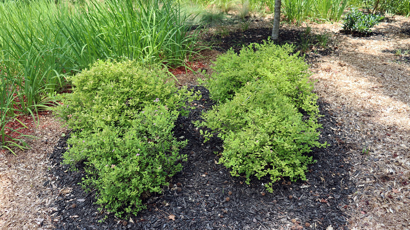 The Goldmound Spirea shrubs have done very well in recent years and continue to look great each season.