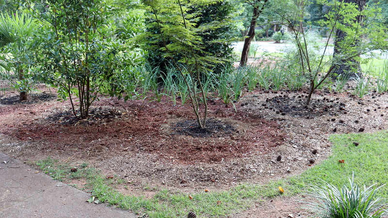 And finally, I removed everything around the Japanese Maple tree.