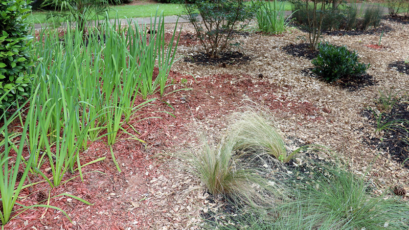All of the irises on the left side of the photo above are new from last summer and will remain in place.