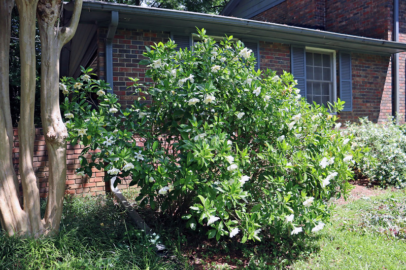 The summer bloomers are doing very well.  The large gardenia next to the garage that was in place when I moved in has been flowering a lot in recent years.