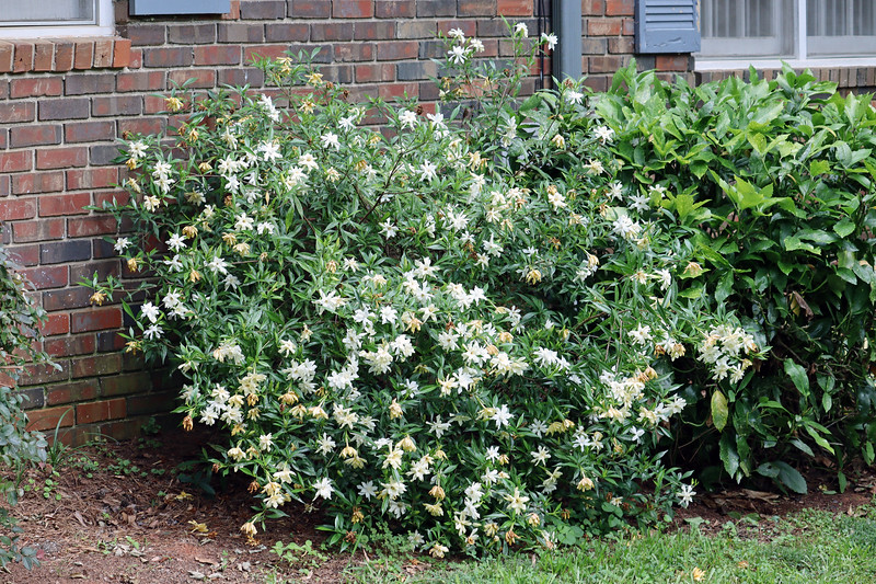 The Frostproof Gardenia looks great as well.  The white blooms don't stay white for very long.  But they look good even for a short time.