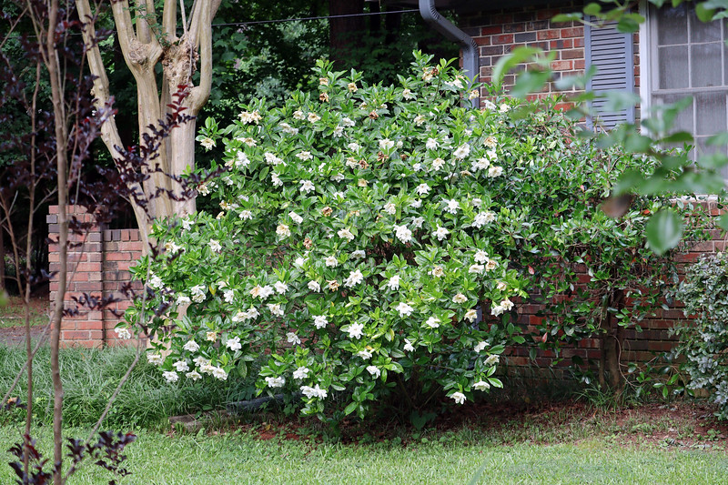 The gardenia next to the garage looks great !  It seems to be leaning out into the yard, which is good.  And now that I've cut it away from the house, I'm going to let it grow and see what it does.