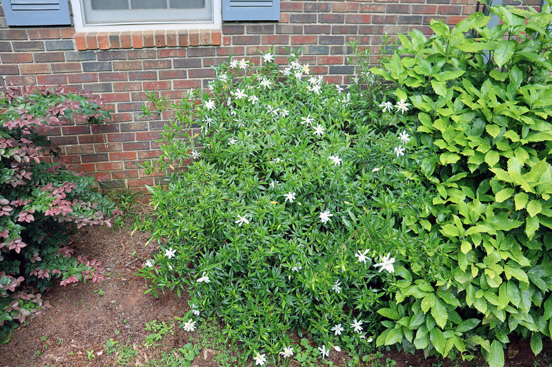 The Frostproof Gardenia that I planted in 2014 is also doing very well.
