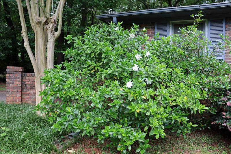 The large flowering gardenia beside the garage was in place when I moved here and seems to flower well each year.