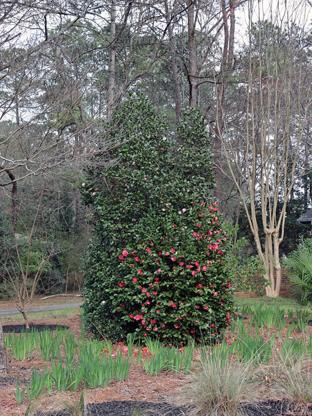 The Japanese Camellia still looks pretty good.  The dividing line between the pink and red blooms is pretty clear in the photo above.